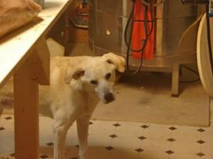 Freddie - the Lab - resides at Atelier de Teresa